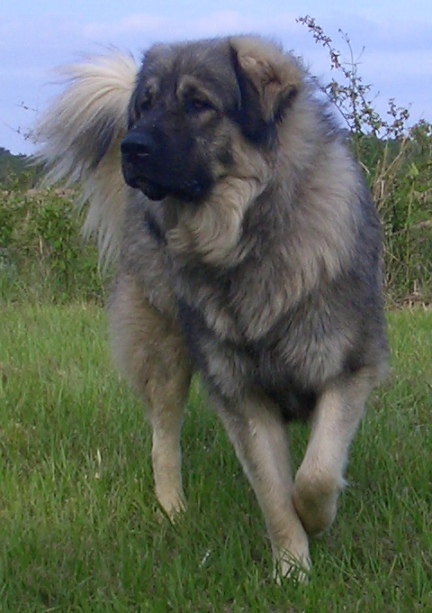 Sarplaninac Dog For Sale Australia