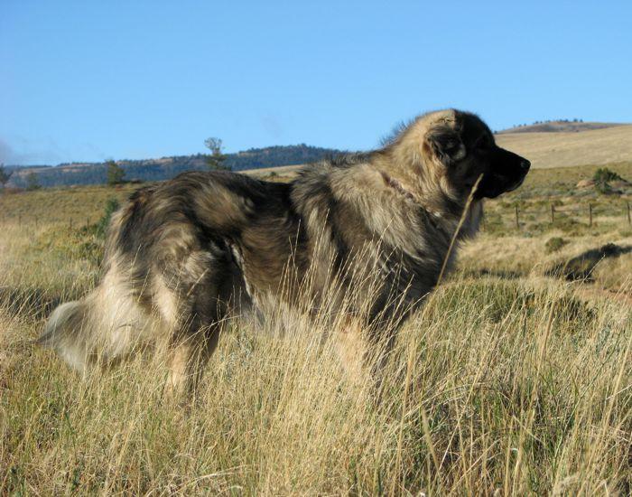Lion Shepherd D...